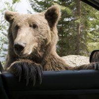 В Колорадо медведь угнал Subaru Forester и врезался в почтовый ящик