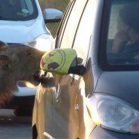 В Африке лев чуть не съел туристок, открыв зубами дверь автомобиля